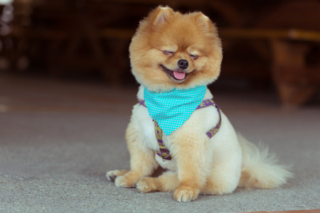 pomeranian dog sitting cute pets happy smile
