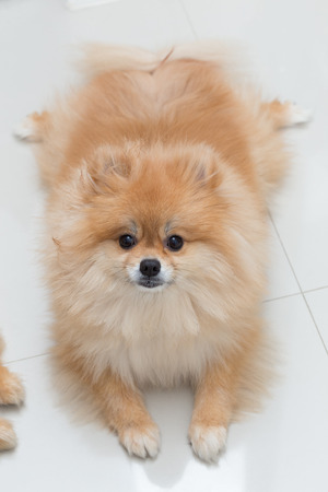 dog pose: puppy pomeranian dog cute pets in home