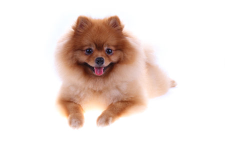 small dog: brown pomeranian dog isolated on white background, cute pet in home