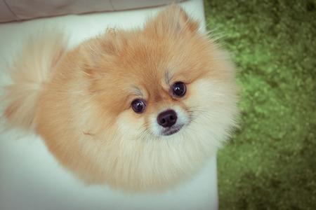 floor mats: puppy pomeranian dog cute pets in home