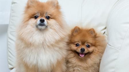 perros graciosos: pomerania cachorro de perro mascotas lindos que se sientan en el sofá muebles blancos