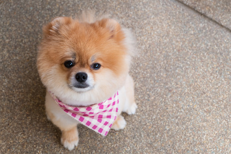 short hair dog: pomeranian puppy dog grooming with short hair, cute pet smiling happy Stock Photo