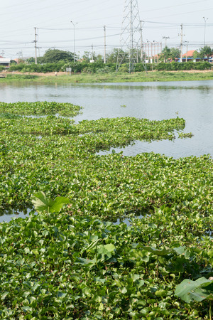 unwanted flora: water hyacinth in the river, eichhornia crassipes