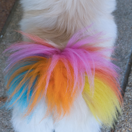 dog grooming: close-up white pomeranian dog grooming with colourful tail Stock Photo
