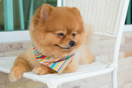 bandana: pomeranian puppy dog grooming with short hair, cute pet smiling happy Stock Photo