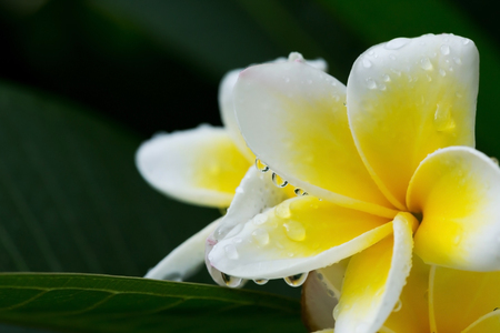 rainy season: white frangipani plumeria tropical flower with water drops in rainy day