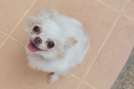 chihuahua puppy: chihuahua small dog happy smile, cute pets friendly Stock Photo