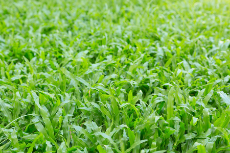 sward: green grass turf garden in morning day time, natural eco background Stock Photo