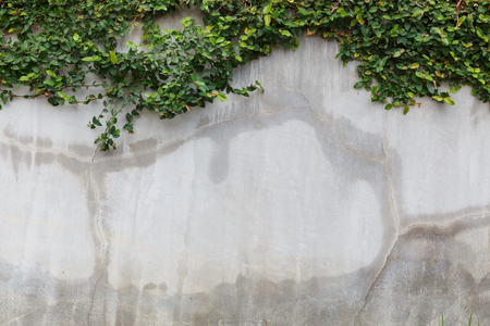 crack wall: cement concrate crack wall texture and green leaf Ivy