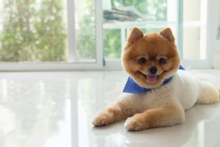 pomeranian 강아지 강아지 손질 짧은 머리 스타일, 귀여운 애완 동물 행복 한 미소 집에 깨끗 한 흰색 타일 바닥