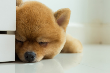brown pomeranian puppy dog grooming short hair style, cute pet sleeping in home with clean white tile floor