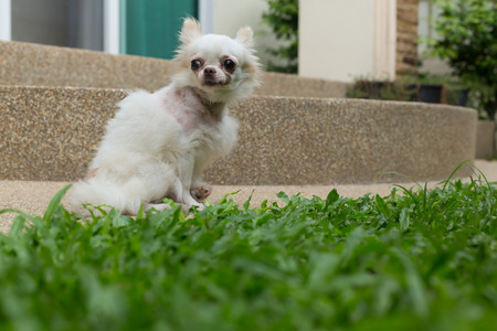 contusion: white chihuahua small cute dog, pet wound on neck
