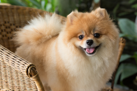 happy pomeranian dog cute pet smile friendly