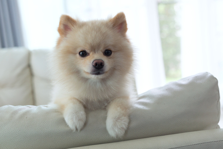 white puppy pomeranian dog cute pet happy smile in home with seat sofa furniture interior decor in living room Stock Photo