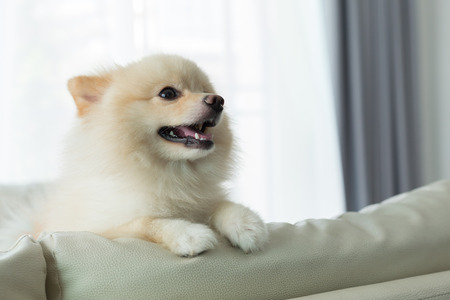 grooming: white puppy pomeranian dog cute pet happy smile in home with seat sofa furniture interior decor in living room Stock Photo
