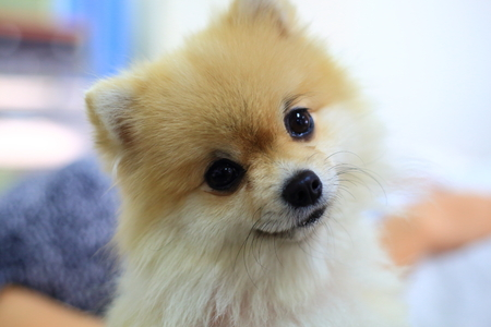 pomeranian dog cute happy smile, pets of lovely and the best friend