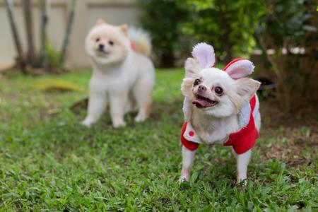 chihuahua kleine hond schattige huisdier glimlach gelukkig in groen gras veld Stockfoto