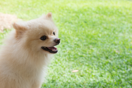 dog grooming: white puppy pomeranian dog cute pet smile happy in garden field Stock Photo