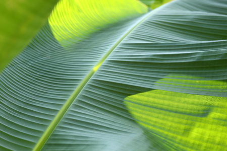 banana green leaf vein texture tropical tree, abstract image nature background
