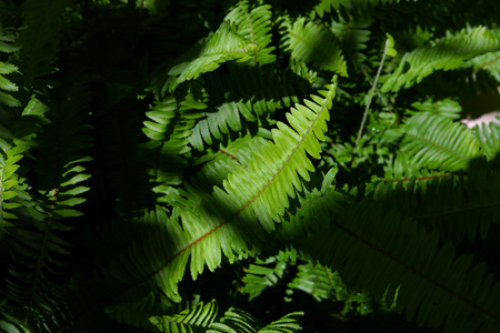 green leaf fern texture in wild nature with light and shadow image