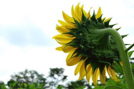 beautiful sunflower blossom blooming in nature, air fresh in the morning day of springtime Banque d'images