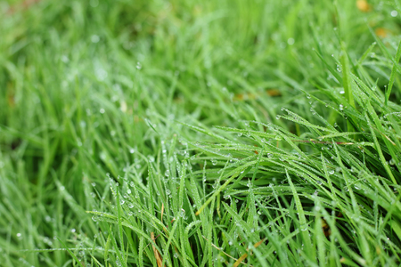freshness water dew drop on green grass garden, image morning in nature background