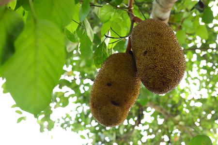 ripe jackfruit on tree, plantation agriculture tropical plant fruit