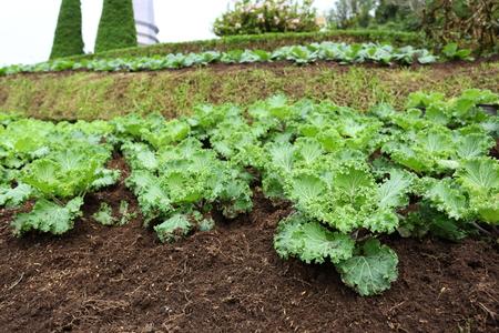 organic farm vegetable, green plant growing on field