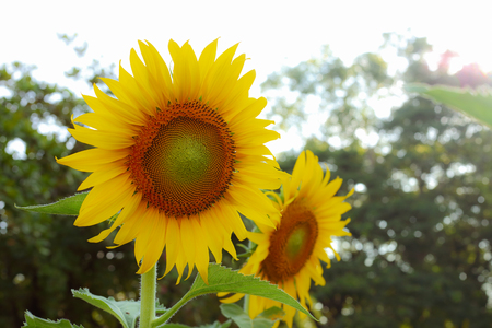 beautiful sunflower blooming in garden with warm light of sunshine in springtime morning day Stock Photo