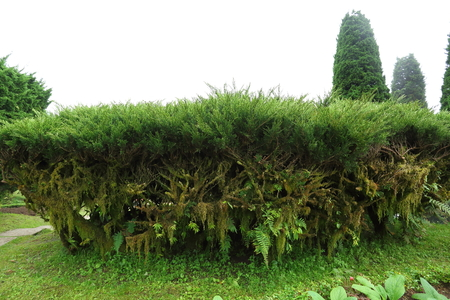 green pine tree in nature garden