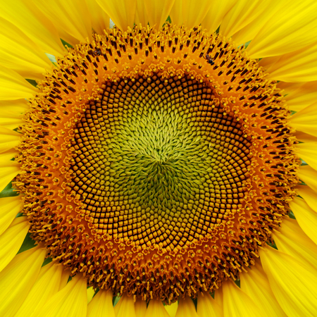 macro image pollen flower of beautiful sunflower blossom blooming in nature