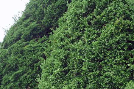 green pine tree in nature Stock Photo