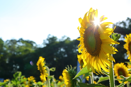 beautiful sunflower blooming in garden with sun light shiny in springtime morning day Archivio Fotografico - 122654930