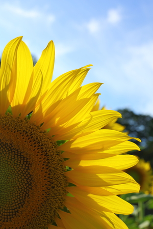 close up sunflower blooming in garden, flower blossom in the morning day Archivio Fotografico - 122654932