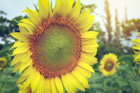 beautiful flower, sunflower blooming in the morning summer day Stock Photo