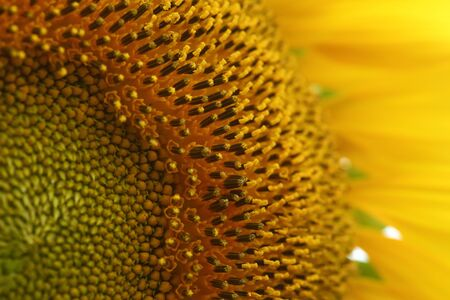 beautiful texture of pollen sunflower flora, abstract flower nature background, macro image photography Фото со стока