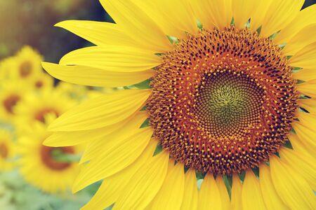 belle fleur de printemps, fleur de tournesol qui fleurit dans le jardin d'été naturel avec la lumière du soleil le matin
