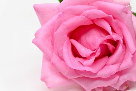 closeup beauty petal of pink rose flower blossom on white background