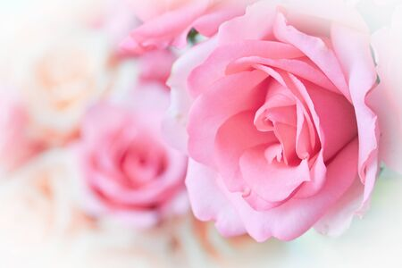 beautiful pink rose flower, image used for romantic wedding background 版權商用圖片