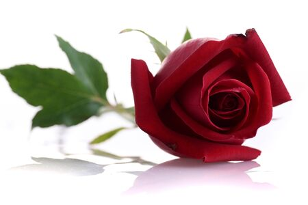 red rose flower isolated on white background Archivio Fotografico