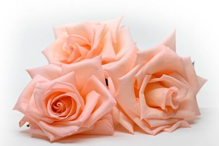 three beautiful flower rose gold color isolated on white background