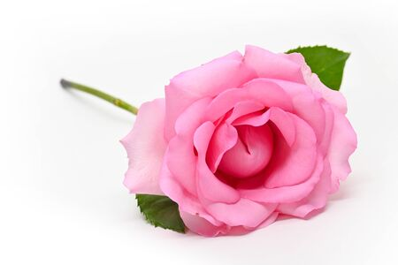 beautiful pink rose flower isolated on white background, concept image of couple sexual orgasm Stock Photo