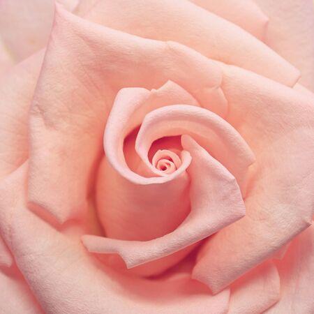 pink rose gold color tone with spiral petal, beautiful orange flower in nature Foto de archivo - 137892566