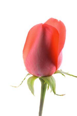 orange bud rose flower isolated on white background Banco de Imagens - 137893783
