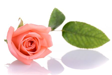 beauty orange rose flower isolated on white background Banco de Imagens - 137893438