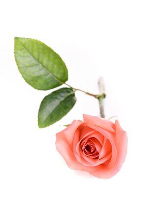 orange rose flower isolated on white background Banco de Imagens - 137893454