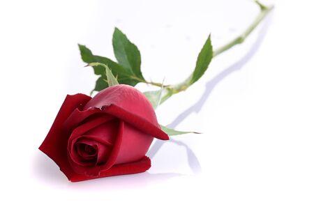 red rose flower isolated on white background Banco de Imagens - 137893743