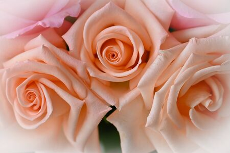 beautiful orange rose gold color of flower blossom blooming in the morning day, image used for wedding romantic love background