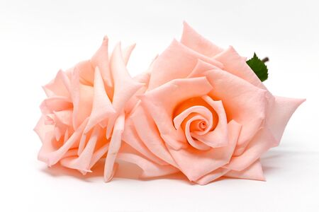 two beautiful flower rose gold color isolated on white background 版權商用圖片