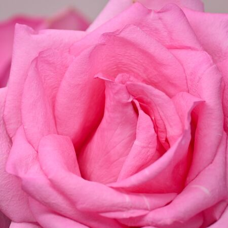 pink rose flower with wrinkle wilt petal, image used for skin care of beauty concept